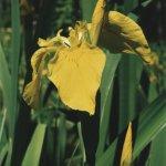 XCIII-1-2-121 Kosatec žlutý (24_05_2001)_1920px