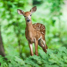 jelen - mlade