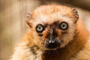 Lemur Sclaterův_ foto P.Vlček