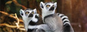 beh-pro-lemury