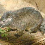 Daman pralesní - samice s mládětem_foto E.Gombala