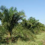 palma olejna