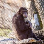 Nový samec šimpanze_foto P.Vlček
