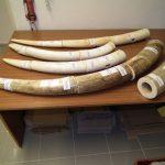 slonovina pašovaná do Hanoje záchyt letiště Ruzyně foto ČIŽP (2)