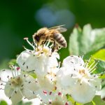 Včela medonosná (Foto: O. Hruška)