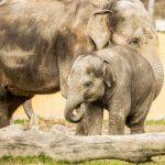 Sloni indičtí v Zoo Ostrava_foto P.Vlček