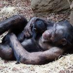Šimpanzí samice s mládětem_foto D.Klüglová (4)