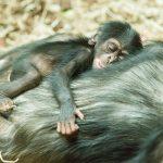 Mládě šimpanze_foto P.Vlček