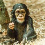 Mládě šimpanze hornoguinejského _foto M.Vlčková