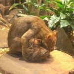 Kočky cejlonské_foto E.Gombala