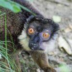 Lemur šedohlavý_foto P.Vlček