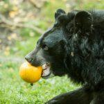 Medvěd ušatý_foto P.Vlček (2)