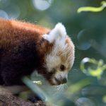Mládě pandy červené_foto J.Turay