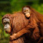 Samice orangutana s mládětem_archiv SOCP