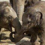 Sloni indičtí_foto P.Vlček