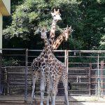 Žirafy v Zoo Ostrava_foto I.Firla