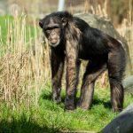 Šimpanz hornoguinejský_foto P.Vlček (5)