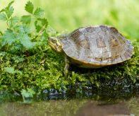 Mládě želvy chrámové_foto M.Fuglevič